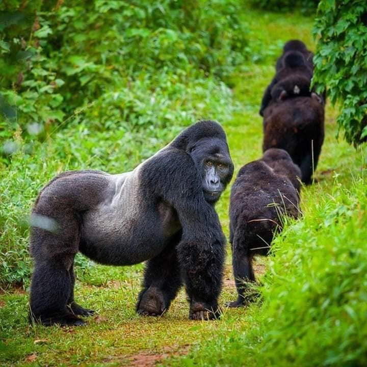 what do you call a baby gorilla?